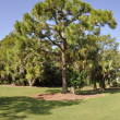Stock Photo: Evergreen tree in Florida