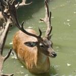 ������, ������: Fallow deer