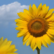 Sunflower flower on a blue sky with clouds — Stock Photo