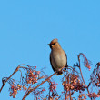 Bohemian Waxwing — Stock Photo