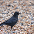 Carrion Crow — Stock Photo #7849396