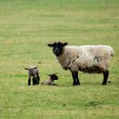 Sheep and twin lambs — Stock Photo #7849608
