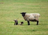 Koyun ve ikiz kuzu — Stok fotoğraf
