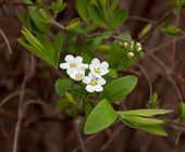 White Spring Flower — Stockfoto