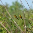 Little Bee-eaters — Stock Photo