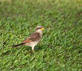 黄嘴伯劳鸟 — 图库照片