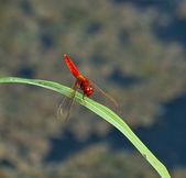 赤 basker トンボ — ストック写真
