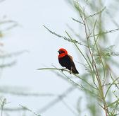 Black-winged Red Bishop — Stock Photo