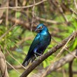 Lesser Blue-eared Glossy Starling — Stock Photo