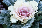 Ornamental Cabbage — Stock fotografie