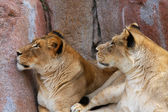 Two Lionesses looking up — Stock Photo