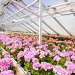 Geranium plants. — Stock Photo