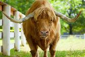 Scottish highlander ox — Stock Photo