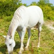 White Horse Grazing — Stock Photo