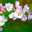 Stock Photo: White and pinky blossom
