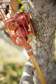 収集されたりんご — ストック写真