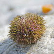Sea urchin on rock — Stockfoto