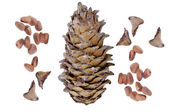 Big Pine Cone — Stock Photo