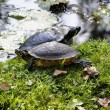 Red-eared slider - Trachemys scripta elegans - Stock Photo