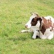 Cow lying in a meadow — Stock Photo