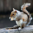 The grey squirrel in one of London parks — Stock Photo