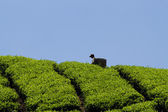 Workers harvesting tea in Cameron Highlands — Stock Photo