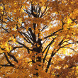 Old autumn tree — Stock Photo #7519474