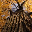 Old autumn tree — Stock Photo