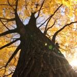 Old autumn tree — Stock Photo