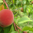 Peach as nice fruit food natural background — Stock Photo
