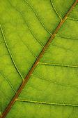 Texture de feuille verte — Photo