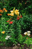 Lily flower bed — Stock Photo