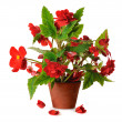 Begonia in pot — Stock Photo