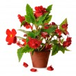 Stock Photo: Begonia in pot