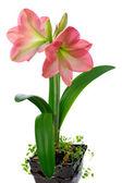 çiçek açan nergis zambağı — Stok fotoğraf