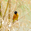 Southern weaver — Stock Photo