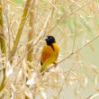 Stock Photo: Southern weaver