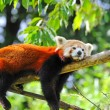 Red panda on tree — Stock Photo #7333604