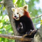 Red panda on tree — Stock Photo #7333607