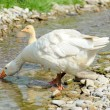 White geese — Stock Photo #7337295