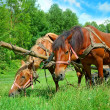 Horses in harness on pasture — Stock Photo #7337572