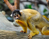 Squirrel monkey sits on a branch — Photo