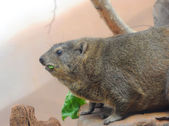 Marmot eats a green sheet — Stock Photo