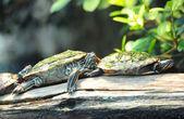 Tortoises — Stock Photo