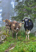 Cows are on a forest path — Stockfoto