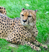 Beautiful cheetah — Stock Photo