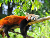 Red panda on tree — Stock Photo
