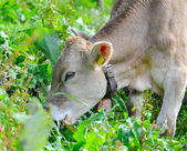 Cow on pasture — Stockfoto