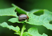 Colorado beetle on potato leaf — Stock Photo