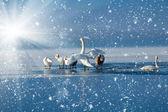 Swans on the frozen lake — Stock Photo